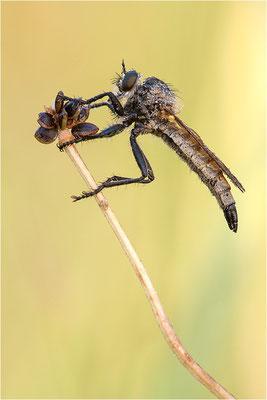 Kerbzangen-Raubfliege (??? - Dysmachus fuscipennis), Frankreich, Ardèche