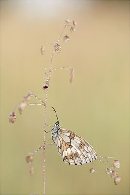Schachbrettfalter (Melanargia galathea), Weibchen, Deutschland, Baden-Württemberg