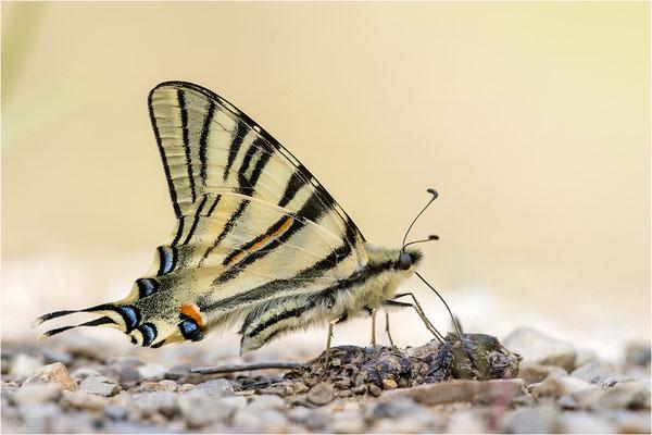 Segelfalter (Iphiclides podalirius), Frankreich, Drôme