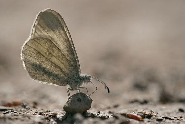 Tintenfleck-Weißling (Leptidea sinapis bzw. juvernica), Männchen, Deutschland, Baden-Württemberg - der namensgebende Fleck an der Spitze der Vorderflügel der männlichen Falter ist im Gegenlicht gut erkennbar