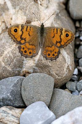 Mauerfuchs (Lasiommata megera), Weibchen, Schweiz, Gantrisch