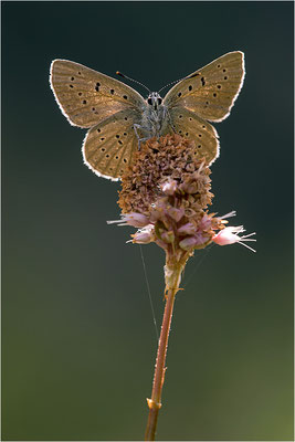 Lilagold-Feuerfalter (Lycaena hippothoe eurydame), Weibchen, Italien, Region Aostatal, 2100m