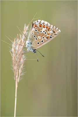 Himmelblauer Bläuling (Polyommatus bellargus), Weibchen