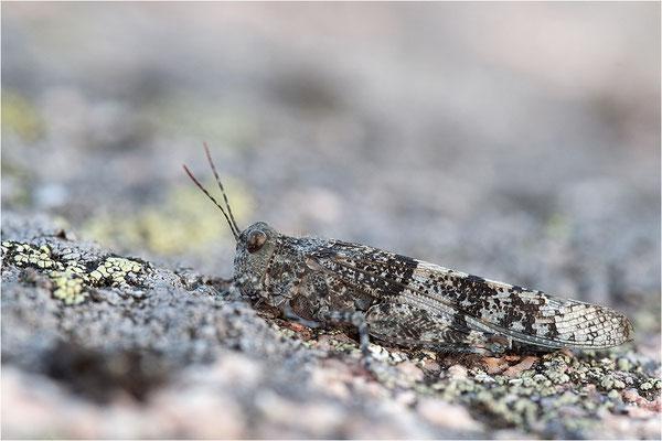 Blauflügelige Sandschrecke (Sphingonotus caerulans), Schweden, Bohuslän
