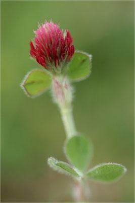 Inkarnat-Klee (Trifolium incarnatum), Deutschland, Baden-Württemberg