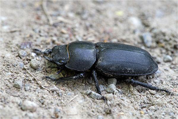 Balkenschröter (Dorcus parallelipipedus), Baden-Württemberg, Deutschland