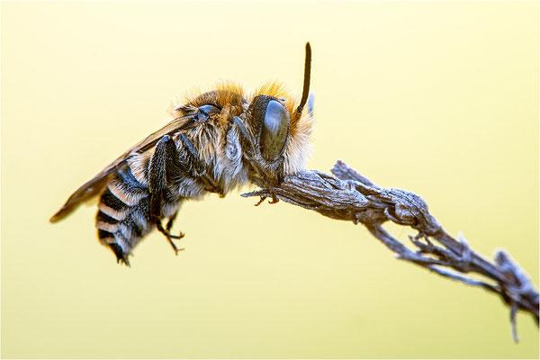 Wildbiene (Harzbiene ?), Schweiz, Wallis