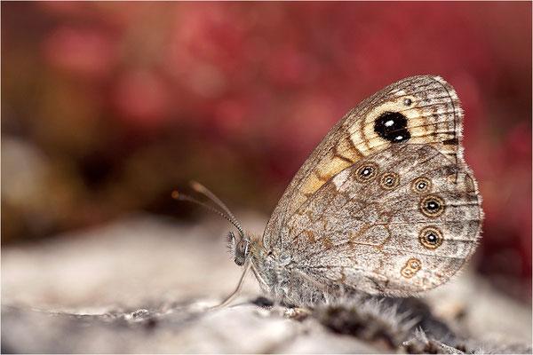 Braunauge (Lasiommata maera), Frankreich, Ardèche