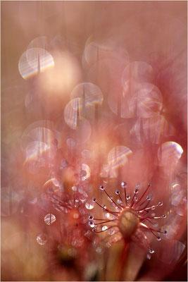 Mittlerer Sonnentau (Drosera intermedia), Schweden, Värmland