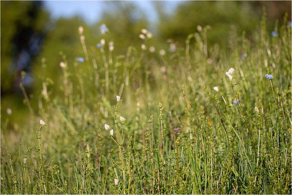 Himmelblauer Bläuling (Polyommatus bellargus) und Hauhechel-Bläuling (Polyommatus icarus), Deutschland, Baden-Württemberg
