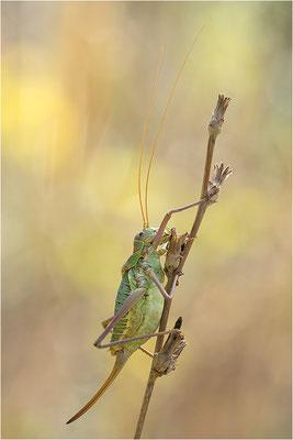 Steppen-Sattelschrecke (Ephippiger diurnus), Weibchen, Frankreich, Drôme
