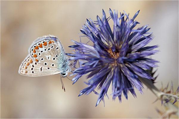 Hauhechel-Bläuling (Polyommatus icarus), Männchen, Frankreich, Drôme