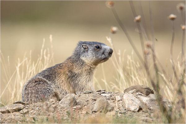 Alpenmurmeltier (Marmota marmota), Frankreich, Dep. Savoie