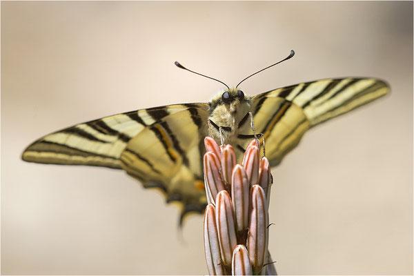 Segelfalter (Iphiclides podalirius), Männchen, Frankreich, Zentralkorsika