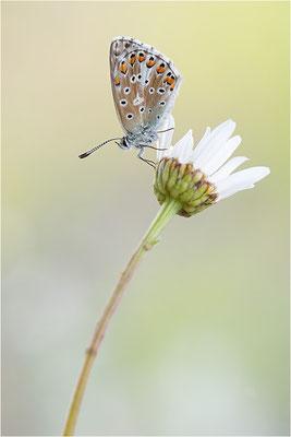 Himmelblauer Bläuling (Polyommatus bellargus), Deutschland, Baden-Württemberg