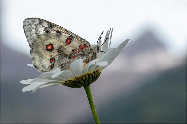 Roter Apollo (Parnassius apollo geminus), Schweiz, Kanton Bern