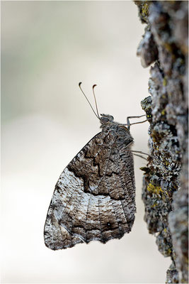 Großer Waldportier (Hipparchia fagi), Frankreich, Drôme