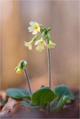 Hohe Schlüsselblume (Primula elatior), Deutschland, Baden-Württemberg