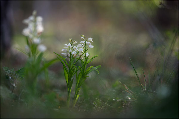 Schwertblättriges Waldvöglein (Cephalanthera longifolia), Schweden,  Farö
