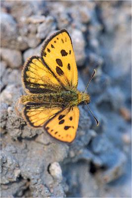 Schwarzfleckiger Golddickkopffalter (Carterocephalus silvicola), Männchen, Schweden, Gotland