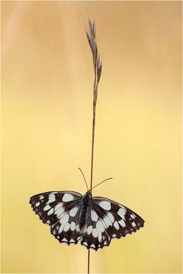 Schachbrettfalter (Melanargia galathea), Weibchen, Frankreich, Ardèche