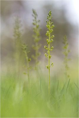 Großes Zweiblatt (Listera ovata), Gotland, Schweden
