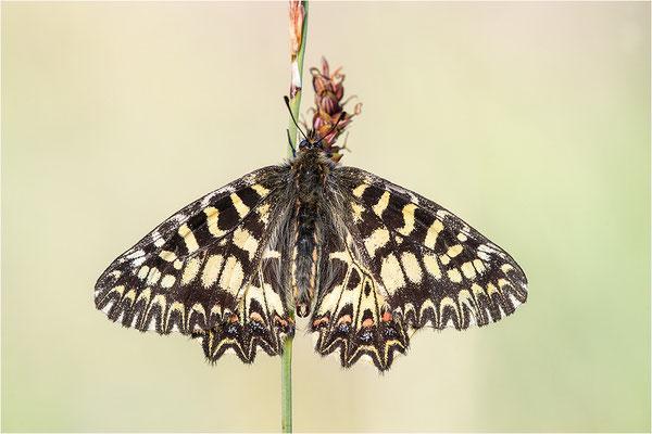 Südlicher Osterluzeifalter (Zerynthia polyxena), Männchen, Frankreich, Ardèche