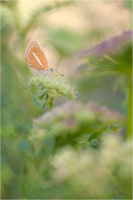 Weißdolch-Bläuling (Polyommatus damon), Weibchen, Schweiz, Wallis