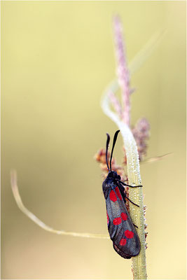 Sechsfleck-Widderchen (Zygaena filipendulae), Frankreich, Ardèche