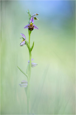 Bienen-Ragwurz (Ophrys apifera), Südlicher Oberrhein, Baden-Württemberg