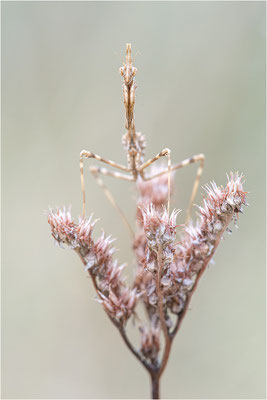 Hauben-Fangschrecke (Empusa pennata), Larve, Frankreich, Ardéche