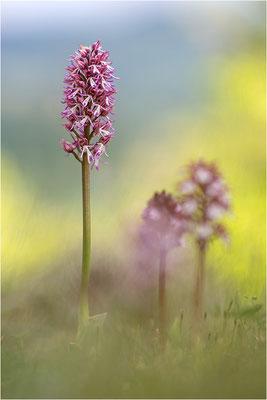 Orchis purpurea, Orchis purpurea x simia