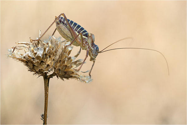 Steppen-Sattelschrecke (Ephippiger diurnus), Männchen, Frankreich, Drôme
