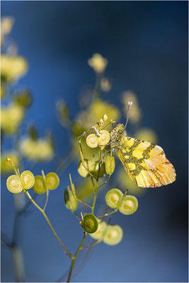 Gelber Aurorafalter (Anthocharis euphenoides), Männchen, Frankreich, Ardèche