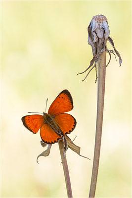 Dukaten-Feuerfalter (Lycaena virgaureae), Männchen, Schweiz, Wallis, 1600m