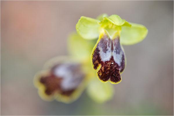 Ophrys bilunulata
