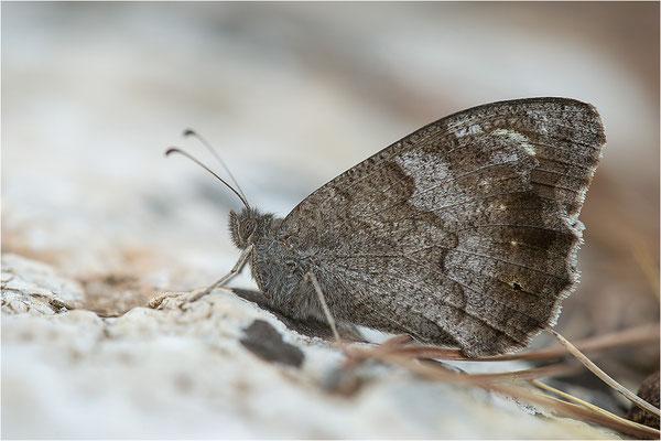 Eisenfarbiger Samtfalter (Hipparchia statilinus), Frankreich, Dep. Drôme