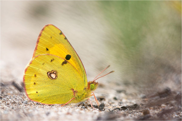 Postillion (Colias croceus)