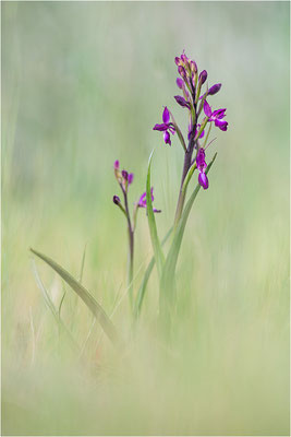 Lockerblütiges Knabenkraut (Anacamptis laxiflora), Dep. Var, Frankreich