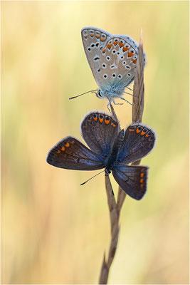 wenn´s mal wieder länger dauert - das Männchen wollte die Flügel leider nicht öffnen