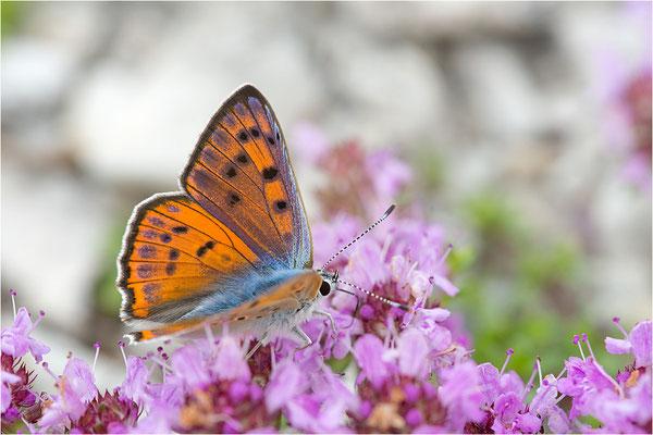 Violetter Feuerfalter (Lycaena alciphron gordius), Männchen, Frankreich, Haute Alps, 1300m