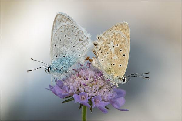 Zahnflügel-Bläuling (Polyommatus daphnis), Paarung, Deutschland, Oberbayern