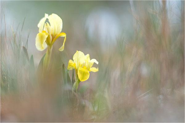 Gelbliche Schwertlilie (Iris lutescens), Aude, Frankreich