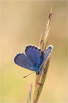Blaugrauer Bläuling (Pseudophilotes batis), Männchen, Frankreich, Ardèche