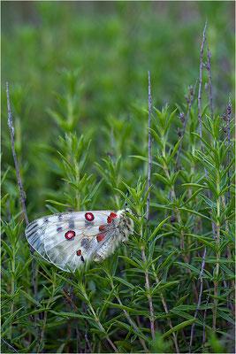 Roter Apollo (Parnassius apollo venaissimus), Frankreich, Dep. Vaucluse