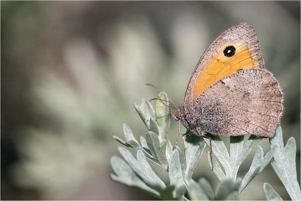 Kleines Ochsenauge (Hyponophele lycaon), Frankreich, Dep. Savoie