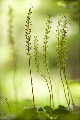 Großes Zweiblatt (Listera ovata), Wallis, Schweiz