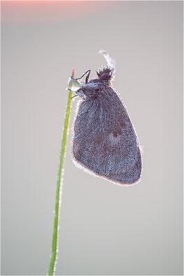 Kleines Wiesenvögelchen (Coenonympha pamphilus), Deutschland, Baden-Württemberg