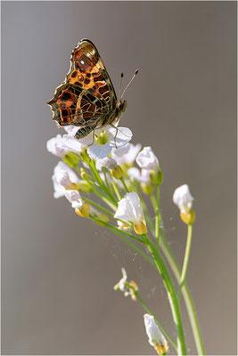 Landkärtchen (Araschnia levana), Frühjahrsform, Deutschland, Baden-Württemberg