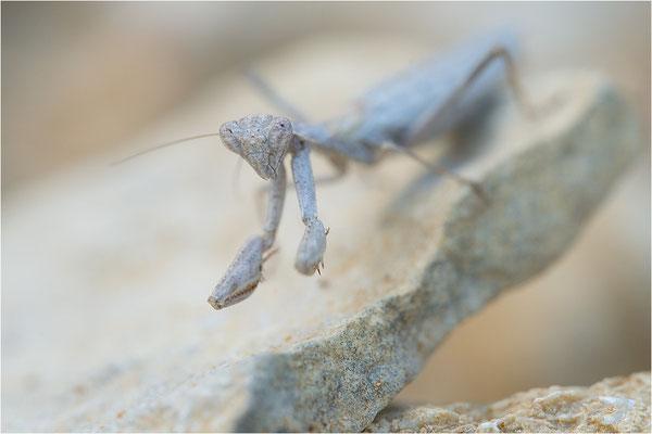 Graue Fangschrecke (Ameles decolor), Weibchen, Frankreich, Drôme
